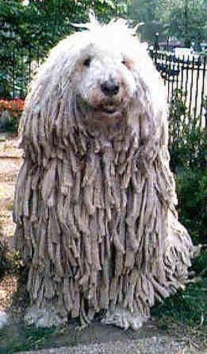 Komondor Dog Breed - I remember seeing this poor guy in the janitor's closet at school.
