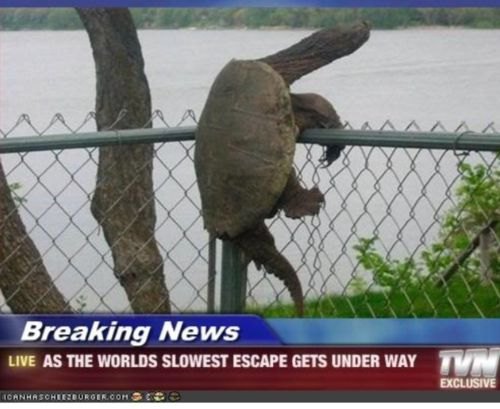 If this turtle climbed this giant fence, then why did we put up that 2 foot turtle fence by the river flats? Lol!
