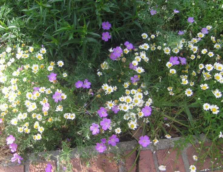 These little daisies are like weeds all over my garden.  I put in a six pack years ago and they have populated all over the place except in deep shade.  This spring they grew near a blue/purple geranium and it was so sweet.