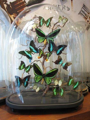 papillons sous globe en verre