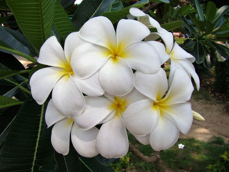 Fleurs de frangipanier, Thaïlande