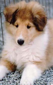 Information on Collies