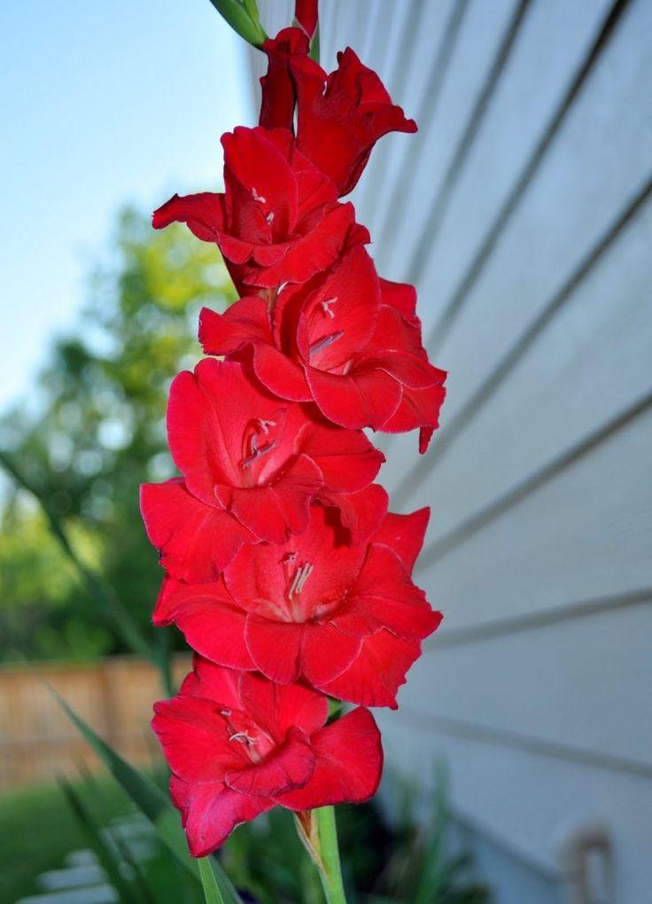Los gladiolos son plantas pertenecientes a la familia de las Iridáceas. Las flores de los gladiolos tienen como significado la elegancia. SB