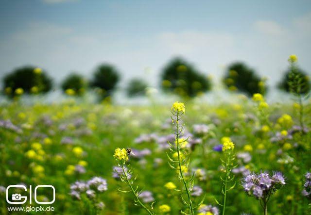 Blumenwiese mit Baumreihe in Kleinenbroich http://www.giovanni-malfitano.de/2015/07/05/sonntagsspaziergang-auf-den-feldern-von-kleinenbroich/