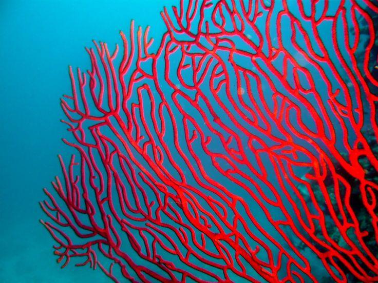 Gorgone corail   #Corail #Coral #Reefs