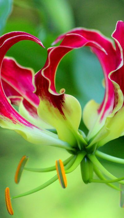 This Gloriosa lily is such an exotic and unusual flower. Beautiful curved shapes to the petals and an interesting color structure.