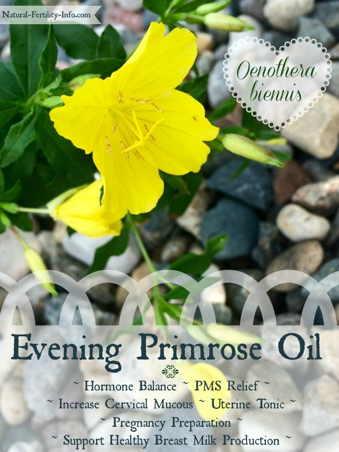 Did you know that Evening Primrose Oil (EPO) has a wide array of benefits for fertility? Some studies have shown that it can help reduce PMS symptoms, increase cervical mucous, while reducing inflammation. #fertilityherbs #hormonebalance #eveningprimroseoil #fertility @hethirrodriguez