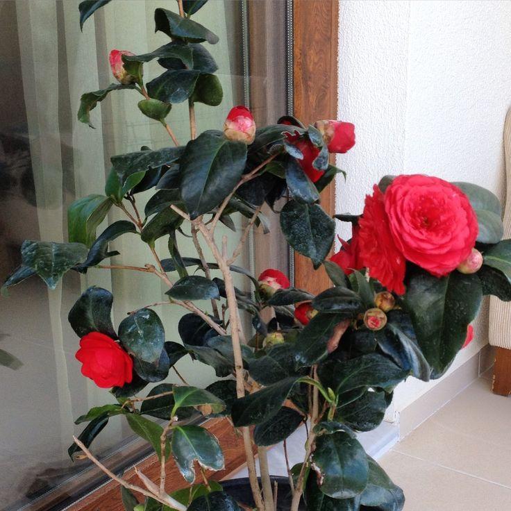 Camellia / Kamelya