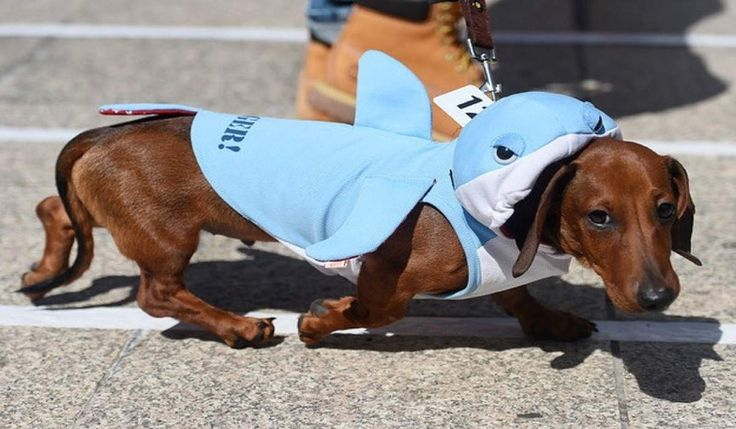 Organizaron una divertida carrera de perros salchicha y esto fue todo lo que sucedió en el evento | Upsocl