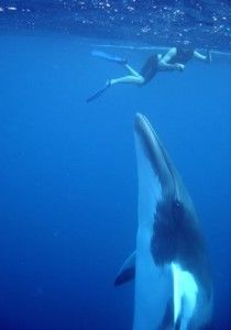 This could be you...book your Minke Whale adventure now on the Spirit of Freedom this June and July. Great Barrier Reef Scuba Diving and Snorkelling!