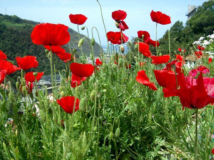 Preciosas amapolas... Están presentes en nuestra mezcla de Flores Silvestres