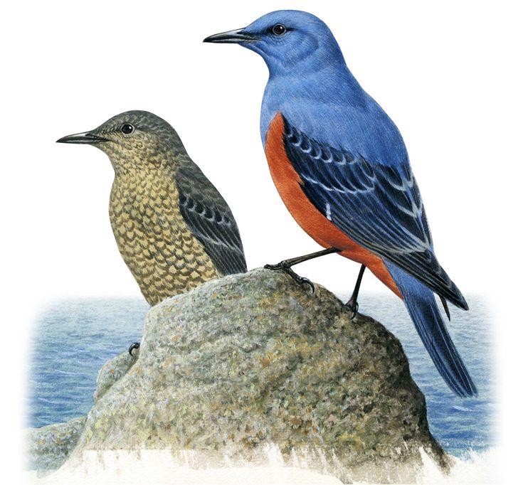 全長23cm。オスは頭から胸、背、腰までが青藍色。腹は赤褐色。翼と尾は黒っぽい。メスは全体が灰褐色で、背は腹より黒っぽく、鱗様の模様が沢山あります。大西洋から太平洋までユーラシア大陸の中部に連続して分布しています。地中海、黒海、カスピ海沿岸からヒマラヤ山地など、温暖な海岸から大河沿いの崖地などに生息しています。日本では全国で繁殖していますが、北海道では少なく、本州以南には普通に分布しています。小笠原諸島、南西諸島などにも多数が生息しています。海岸の崖地に生息しているのが普通ですが、時に海岸から離れた崖地、