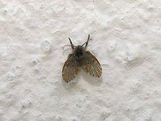 """Conhecidas como """"moscas dos drenos"""" ou """"moscas dos ralos"""". Quando aparecem é um alerta de que é preciso limpar os ralos. Suas larvas se alimentam de bactérias que crescem no material"""