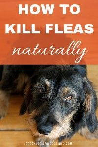 Click to see how to use coconut oil as a natural flea killer. Kills fleas in just 30 seconds. Safe for pets, and cheaper than other flea treatments!