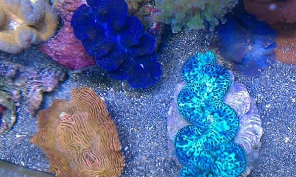 Pin by Saltwater Fishbook on reef aquarium inverts Pinterest