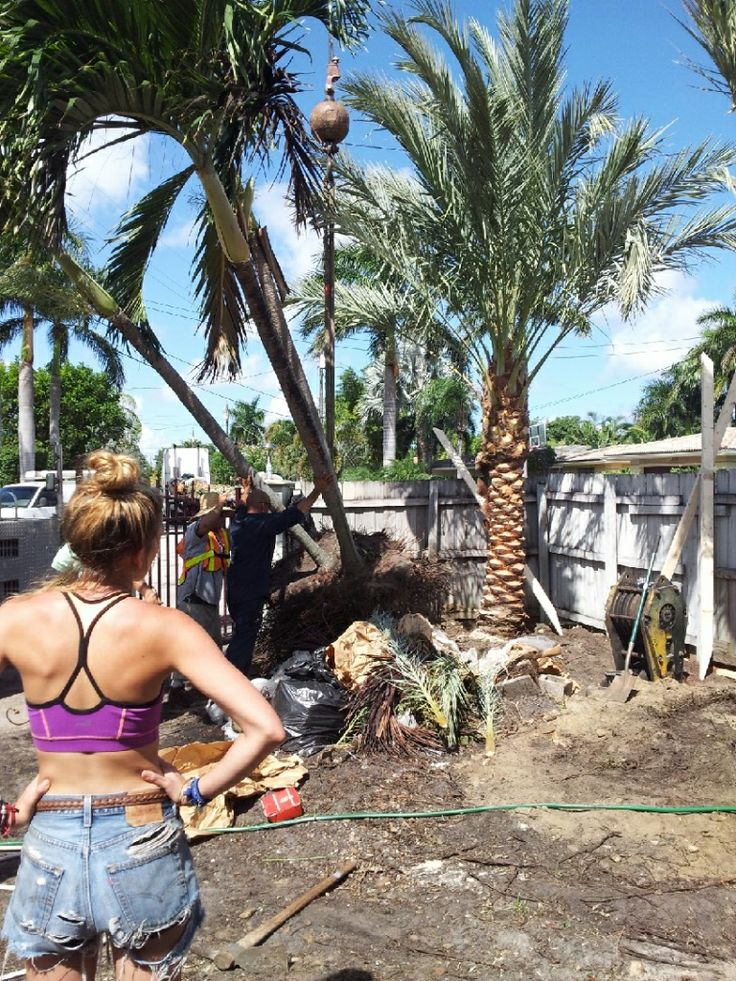 Medjool Date Palm Install Large Date Palm 12 Feet Clear