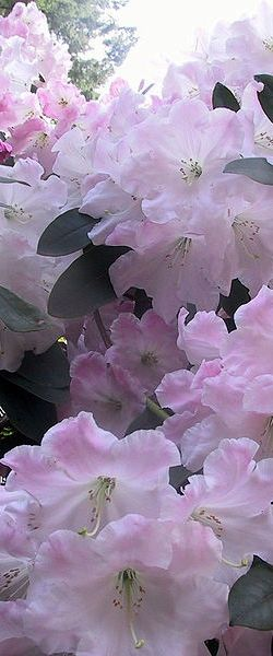 Azaleias A flor símbolo de Sampa! As minhas favoritas