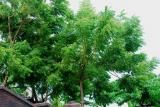 Mimba (Azadirachta indica)