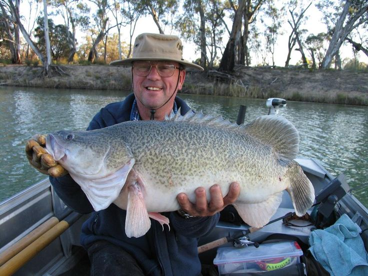 Murray River cod