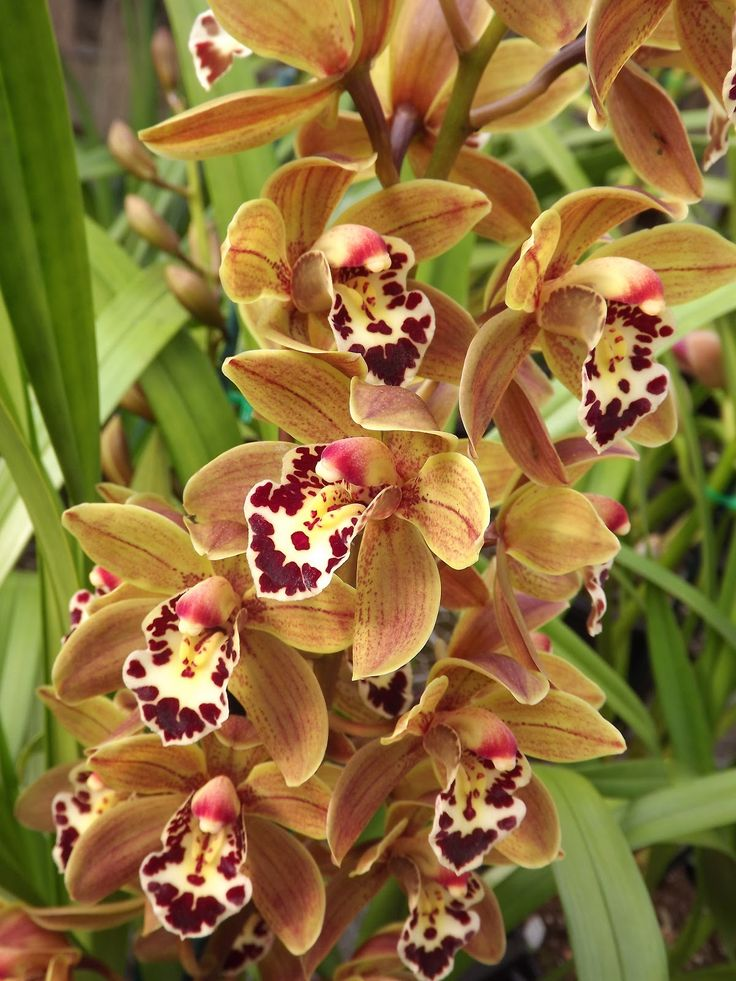"""Cymbidium Mem Marvin Gale """"What's Going On"""" (orchids)"""
