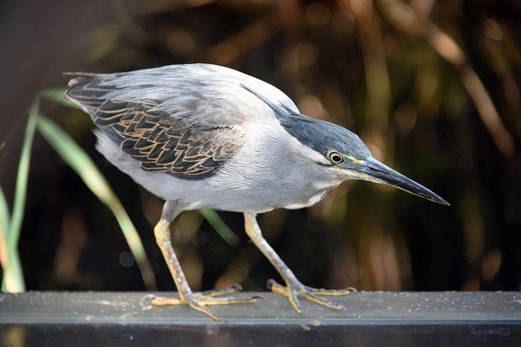 Mangrovereiher, Vögel, Tierwelt, Vogelkunde, Stift