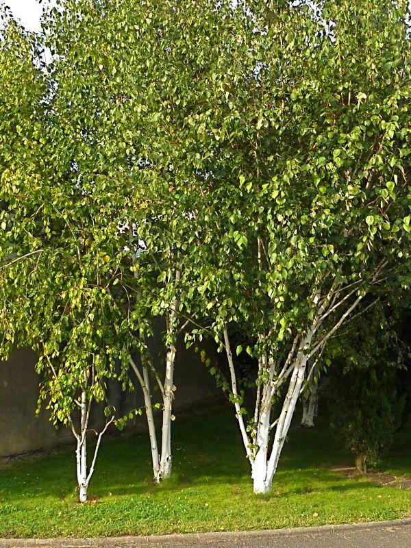 Betula utilis sur le Mur Végétal
