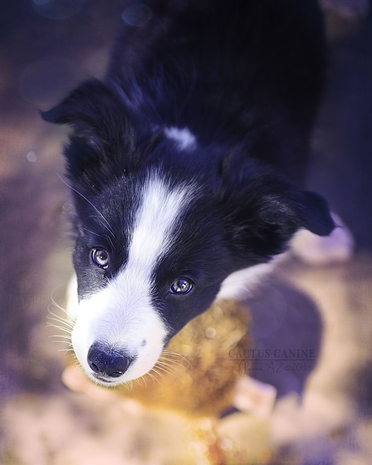 Nine week old #BorderCollie #puppy.  This is SHINER!