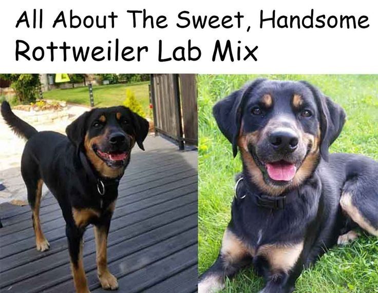 All About The Sweet, Handsome Rottweiler Lab Mix