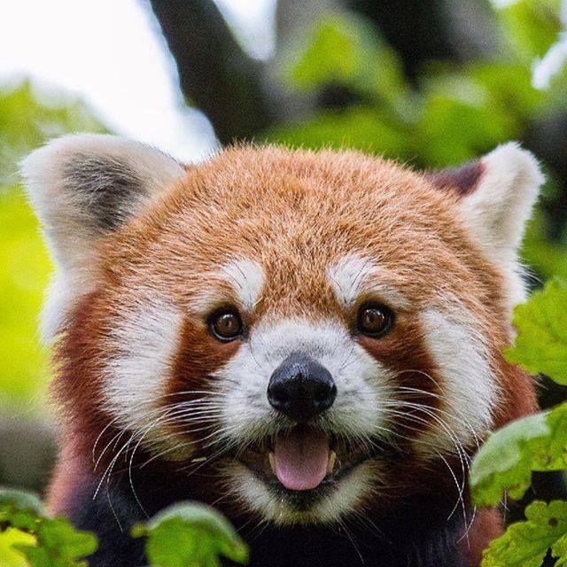 Panda 3 Wilde Tiere Kleiner Panda Susseste Haustiere
