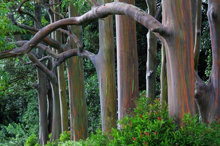 L'Eucalyptus deglupta ha un tronco con appariscenti venature colorate che si intersecano tra loro, creando uno spettacolo cromatico unico #pianteinsolite