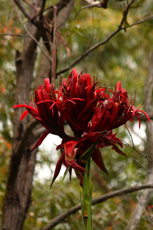 2257 best australian native plants images on pinterest