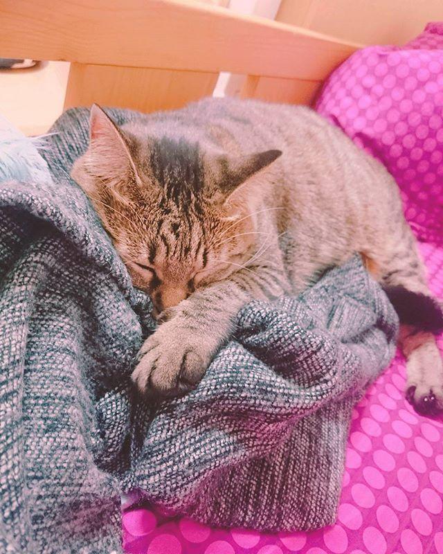 こんばんは  愛猫の手毬。 昨日の夜は、私のマフラーをニギニギしながら側で寝ておりました。  少し…反抗期が治まったのかな…?笑  #instagramm #instagram #instagramq8 #Instagram  #pet #pet🐱 #cutepetclub #cat #lovecat #mypet #sleep #愛猫 #ペット #猫 #キジトラ #キジトラ猫 #女の子 #うちの子 #うちの子が1番 #おねんね #おねんね中 #マフラー #反抗期 ?