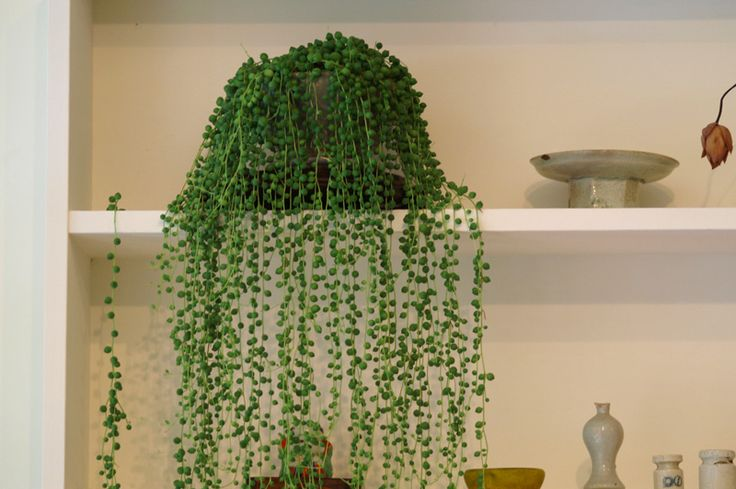 Very cool.: String Of Pearls, House Plants, Indoor Ferns, Pearls Plants, Green Waterfall, Hanging Planters, Plants Curtains, Plants Call, Peas Plants
