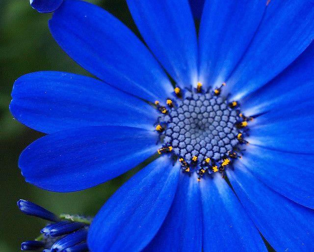 cornflower blue cineraria; perennial flower
