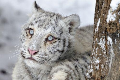 A white tiger cub.......