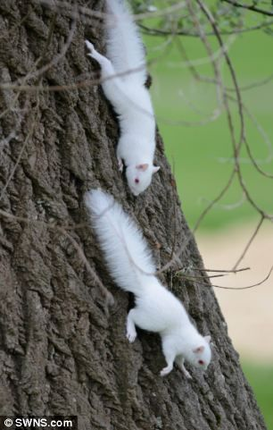 ~One in every 100,000 squirrels is born an albino, so it is incredibly rare to see two at the same time~