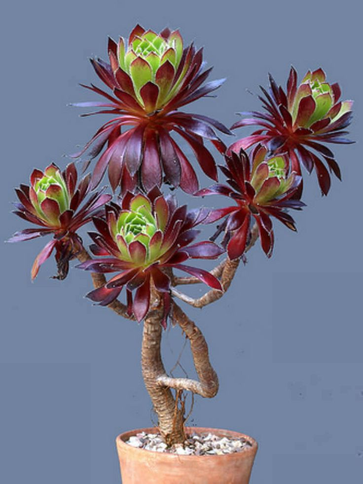179 Best Aeonium Images On Pinterest Plants Rosettes