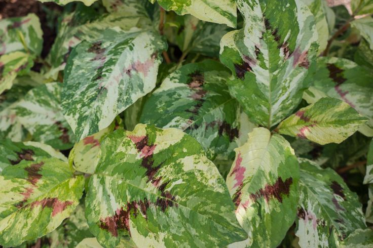 This fun-to-grow herbaceous perennial for shade sports an unusual and showy tricolor variegation; the main body of the leaf is a yellowish green and cream variegation and it's marked with a burgundy chevron stripe. Effective paired with blue foliage, or accentuate the dark chevron stripe by pairing it with red or burgundy foliage.