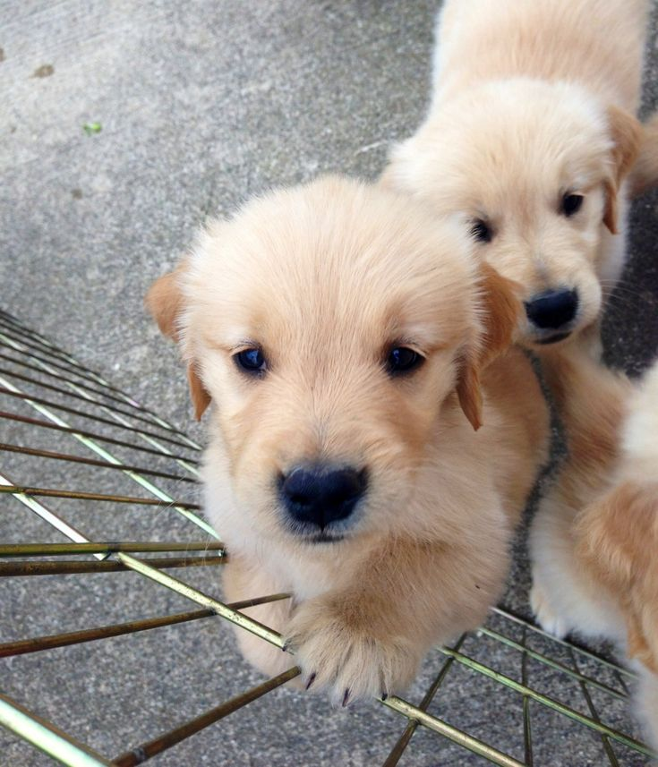 Cute Golden Retriever Puppies Tumblr 10 6k Likes 143 Comments