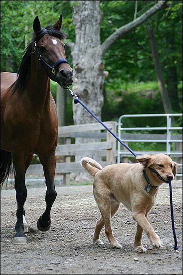 Dog leading horse
