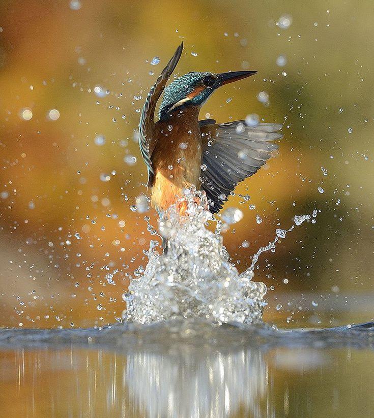 Martin-pescador Uma das 600 fotos clicadas por Alan em suas sessões em busca da foto perfeita