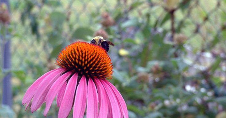 Lista de las flores polinizadas por las abejas. Más de 4.000 especies de abejas nativas pueden ser encontradas en los Estados Unidos, según U.S. Forest Service. Las abejas necesitan recursos de las flores tal como el polen y el néctar para sobrevivir. Las abejas comunes que visitan las flores del jardín incluyen ls abejorros, abejas de calabazas y melíferas. Muchas variedades de flores son ...