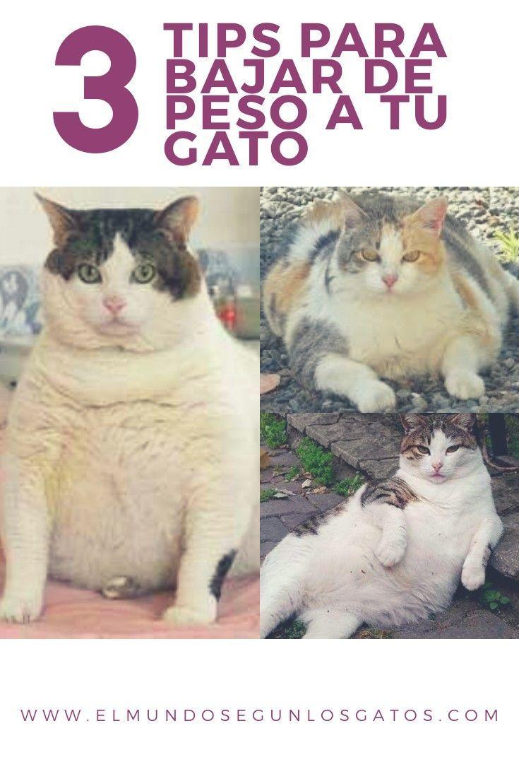 como bajar de peso a tu gato