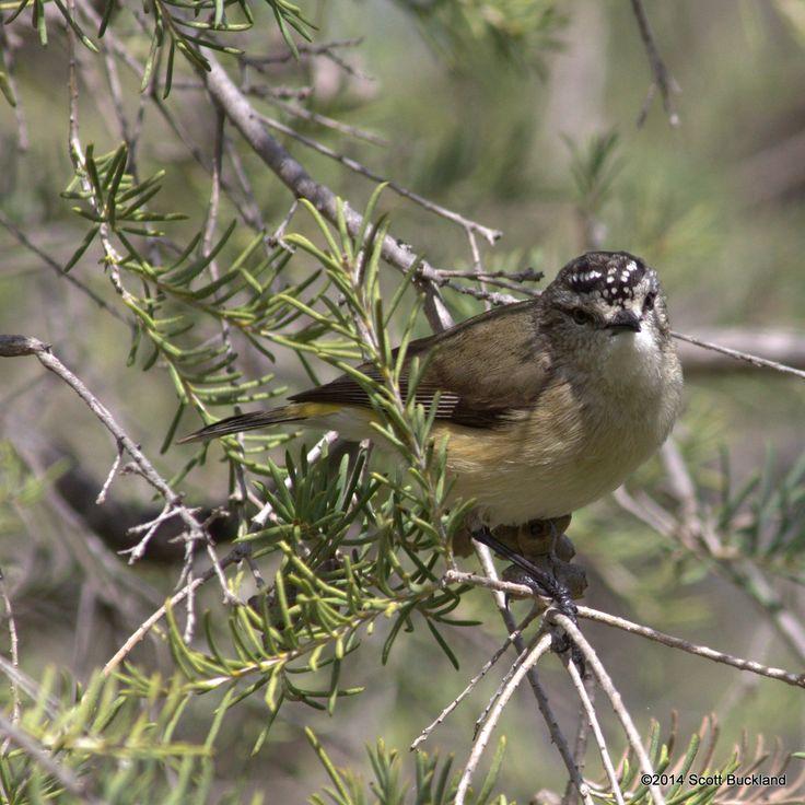 Yellow-rumped Thornbill - Lake Towerrinning, Western Australia - ©2014 Scott Buckland