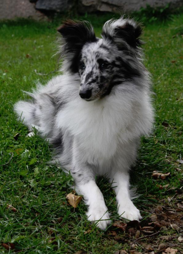 blue merle shelties   min shetland sheepdog Evald :) Han är bi-blue , alltså blue merle ...