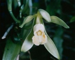 The orchid flower that produces vanilla pods, one of the main exports of Madagascar