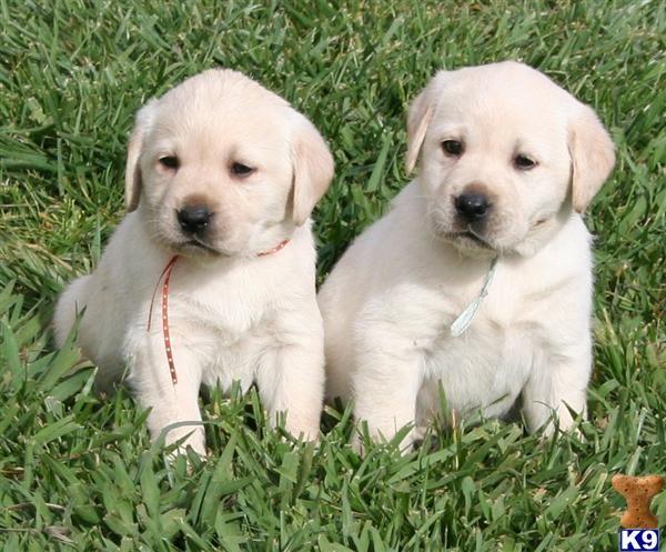 white Labrador Retrievers, one male and one female