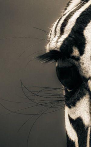**Africa   Close up of a zebra, in the Serengeti National Park, Tanzania.   ©Mario Moreno