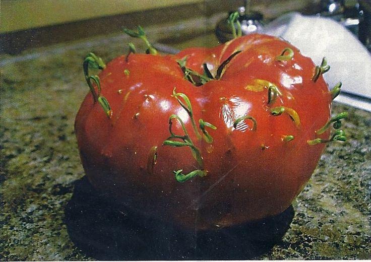 помидоры проращивание семян: 18 тыс изображений найдено в Яндекс.Картинках