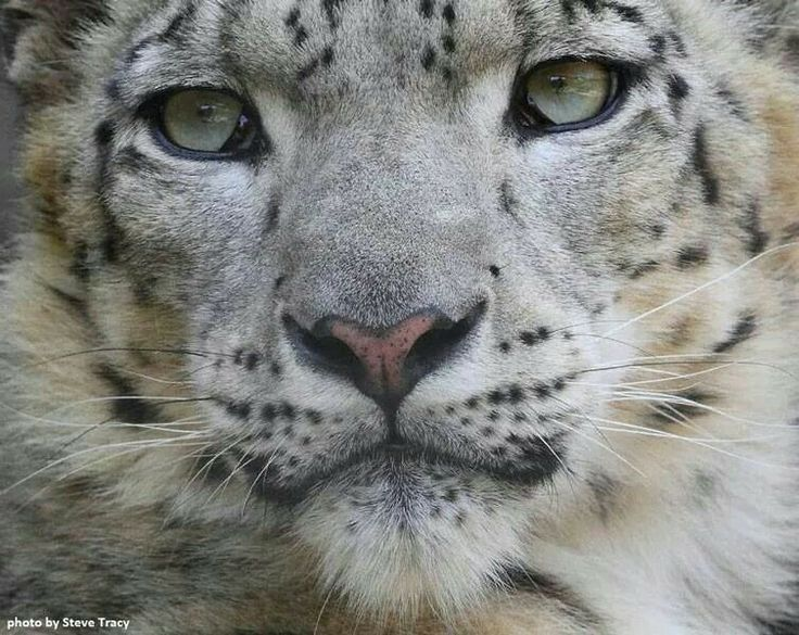 The Face of a Gorgeous Clouded Snow Leopard.